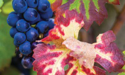 une fille en alsace hopla magazine alsace elsass vendanges culture gastronomie raisin vin activite vignes haguenau wissembourg strasbourg